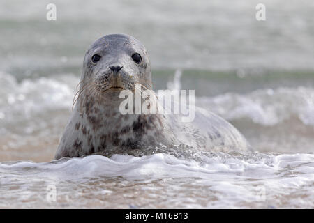 Grey seal (Halichoerus grypus) Young animal playing in the water, Schleswig-Holstein, Helgoland, Germany - Stock Photo