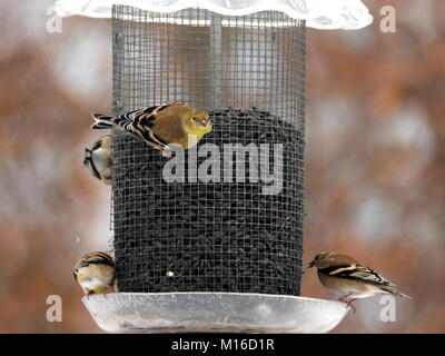 American Goldfinches feed in our backyard year-round. A flock eating sunflower seed. - Stock Photo