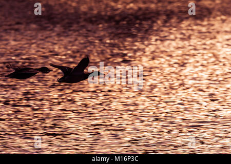 Two mallard ducks flying above lake at the sunset. Black ilhouettes of ducks. - Stock Photo