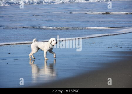 White Cockapoo playing in waves on a sunny, sandy beach - Stock Photo