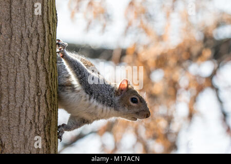 Grey squirrel on side of tree trunk about to jump. Close up in frame - Stock Photo