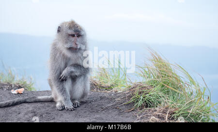 Sad monkey sitting on top of mount Batur active volcano in Bali, Indonesia. Macaque in mountains, natural habitat - Stock Photo