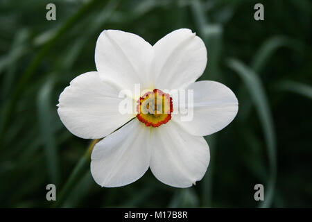 White Daffodil flower in the garden in central park - Stock Photo
