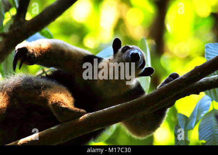 Wild Northern Tamandua (Tamandua mexicana) scratching hmself and looking at the camera in the rainforest in Corcovado - Stock Photo