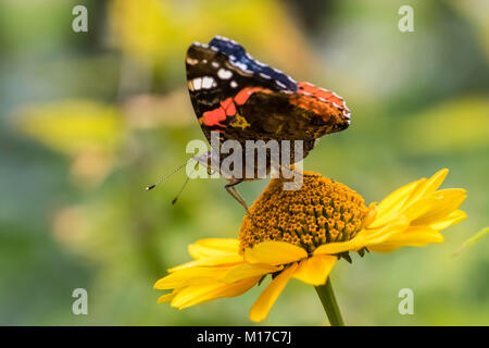 Red Admiral Butterfly on False Sunflower - Stock Photo