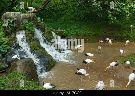 Yellow billed stork - Stock Photo