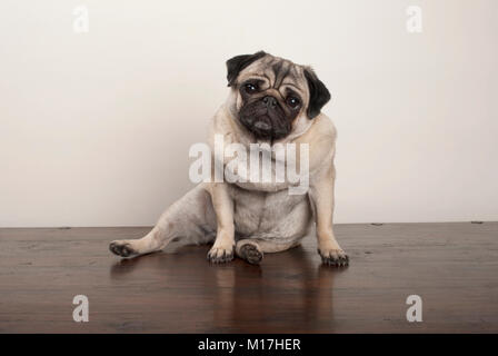 sweet funny pug puppy dog sitting down on wooden ground, on plain background - Stock Photo