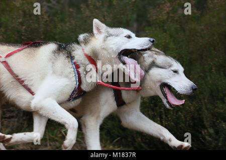 Aviemore, Scotland. 28th January 2018. Huskies take part in day two of the 35th annual Aviemore sled dog rally takes - Stock Photo