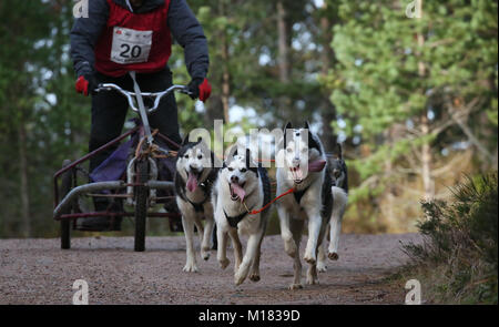 Aviemore, Scotland. 28th January 2018. Day two of the 35th annual Aviemore sled dog rally takes place.Snow has been - Stock Photo