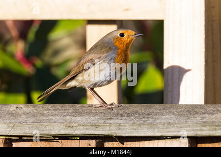 Northampton, U.K. 28 January 2018. Birds seen in a garden in the Abington area of town during the 2018 RSPB big - Stock Photo