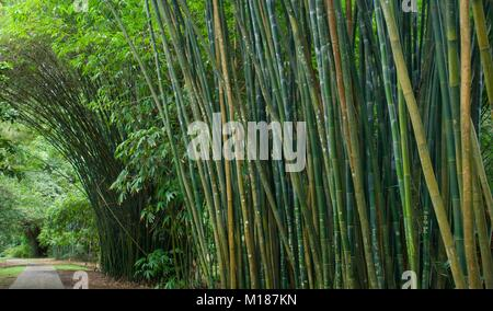 Giant Bamboo growing in a Bamboo Forest arching over a pathway in Cairns Queensland Australia - Stock Photo