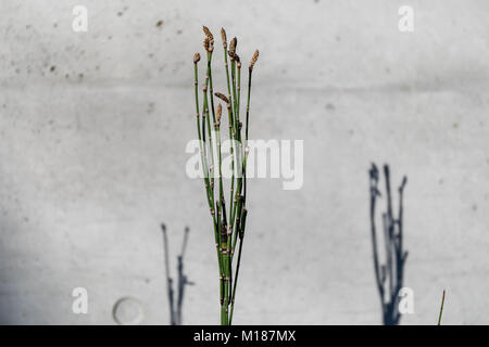 Rough horsetail (Equisetum hyemale) on concrete background; Suginami, Tokyo - Stock Photo
