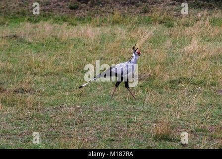 Secretary bird Masai Mara Kenya Africa - Stock Photo