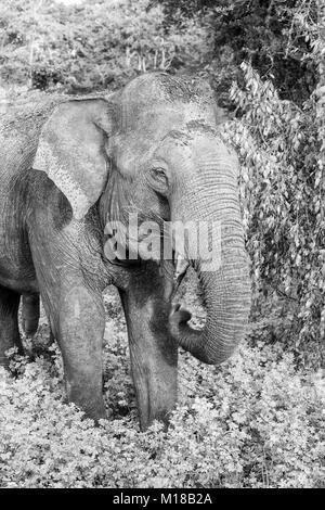 Wild elephant in Yala National Park, Sri Lanka (monochrome) - Stock Photo