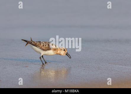 A Western Sandpiper on the beach in the water. The scientific name of this bird is Calidris or Erolia mauri. - Stock Photo