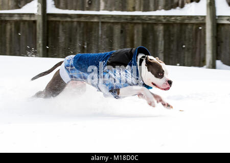 Staffordshire Terrier pit bull dog running and jumping through snow - Stock Photo