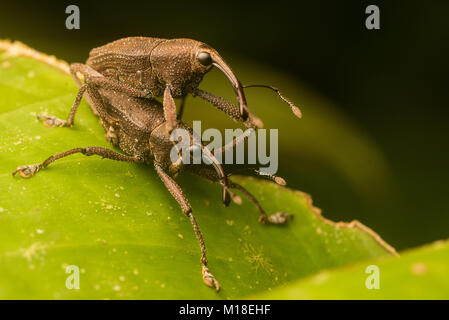 Two weevils mating in the Amazon Jungle. - Stock Photo