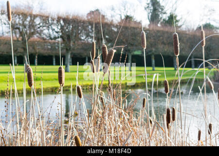 Bulrushes by a pond in Sussex - Stock Photo