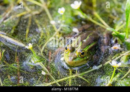 Green frog (Rana esculenta) between flowering aquatic plants,River water crowfoot (Ranunculus fluitans),Veneto,Italy - Stock Photo