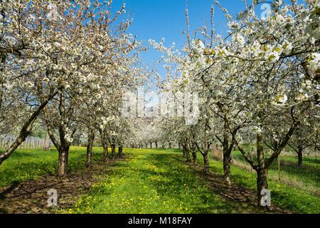 Cherry blossom,fruit plantation,Obereggenen,Markgräflerland,Black Forest,Baden-Württemberg,Germany - Stock Photo
