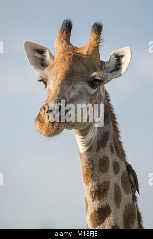 Giraffe (Giraffa camelopardalis) with Red-billed oxpecker (Buphagus erythrorhynchus),Portait,Nxai Pan National Park - Stock Photo