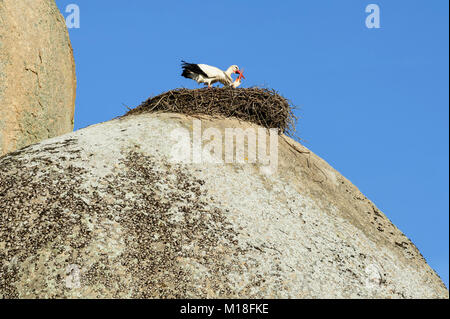 White storks (Ciconia ciconia),couple greeting in the nest on rock,Natural monument Los Barruecos,Cáceres,Extremadura - Stock Photo