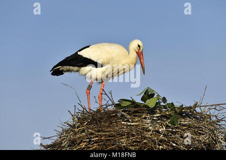 White stork (Ciconia ciconia),standing on eyrie,Canton of Aargau,Switzerland - Stock Photo