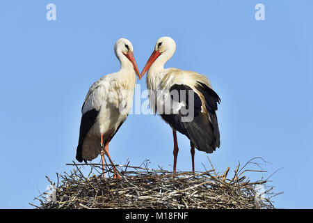 White storks (Ciconia ciconia),couple standing on eyrie,Canton of Aargau,Switzerland - Stock Photo