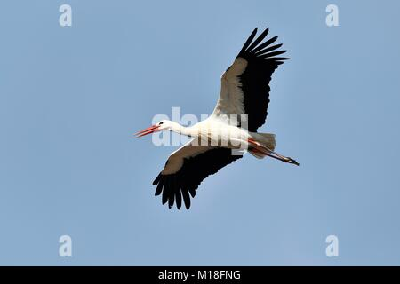 White stork (Ciconia ciconia),adult,flying,Canton of Aargau,Switzerland - Stock Photo