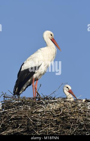 White storks (Ciconia ciconia),couple on eyrie,Canton of Aargau,Switzerland - Stock Photo
