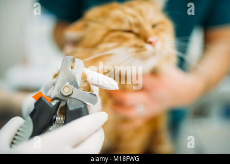 Professional veterinarians cut claws cat closeup, veterinary clinic. Vet doctors working in animal hospital - Stock Photo