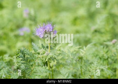 phacelia tanacetifolia - Scorpion Weed or Fiddleneck - growing in UK as green manure - Stock Photo