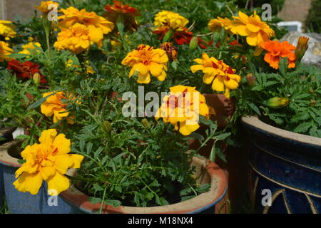 French marigold flowers, yellow  and red, in flower pots - Stock Photo