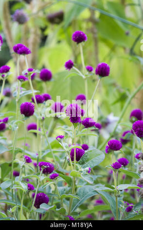 Gomphrena globosa flowers. Globe amaranth. - Stock Photo