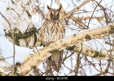 night predatory bird sitting in a tree - Stock Photo
