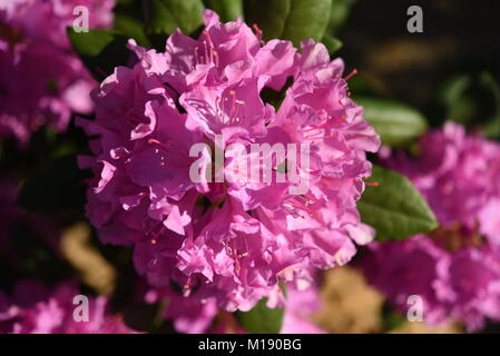 Several blossom of pink rhododendron Roseum Elegans - Stock Photo