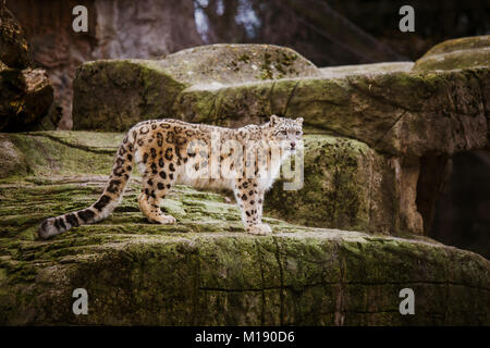 An adult snow leopard stands on a stony ledge in the Basel Zoo in Switzerland. Cloudy weather in winter. - Stock Photo