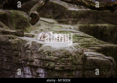 The adult snow leopard lies on a large rock and looks attentively and alert at the Basel Zoo in Switzerland. Cloudy - Stock Photo