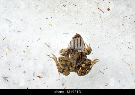 Frog trapped in ice. European common grass frog stuck in ice during winter - Stock Photo