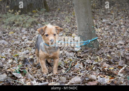 a small dog tied to a tree alone and abandoned in the forest - Stock Photo
