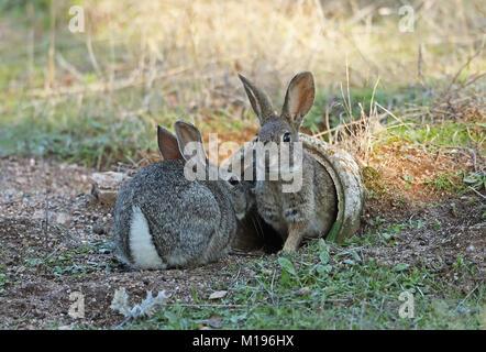 European Rabbit (Oryctolagus cuniculus algirus) pair at entrance of artifical burrow, created for Iberian Lynx recovery program  Parque Natural Sierra