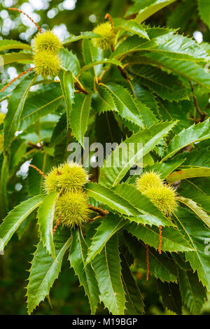 Leaves and chestnuts. Sweet chestnut (Castanea sativa). - Stock Photo