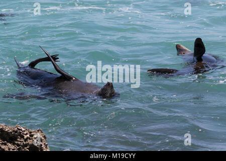 New Zealand Fur Seals (Arctocephalus forsteri) in the ocean off Rottnest Island, Western Australia - Stock Photo