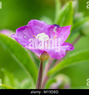 A macro shot of a magenta coloured great willowherb bloom. - Stock Photo