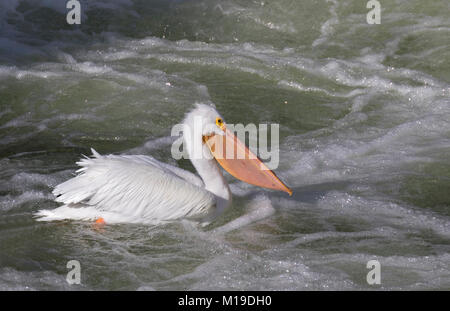 American white pelican fishing in white water near Saylorville dam, Iowa - Stock Photo