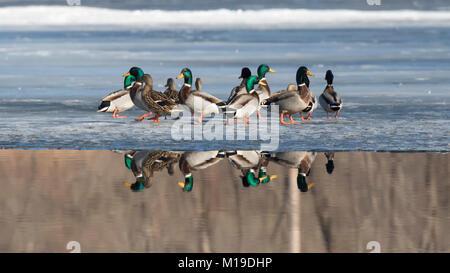 The flock of mallard ducks on ice with reflection in Ada Hayden lake - Stock Photo