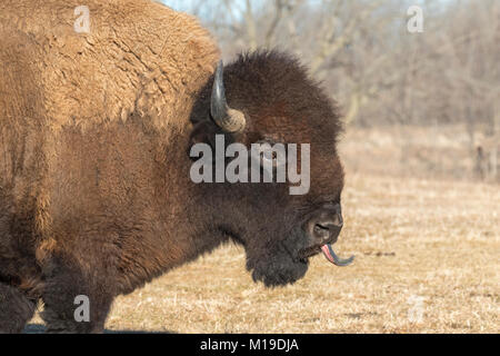 American bison (Bison bison) at Neal Smith Wildlife Refuge - Stock Photo
