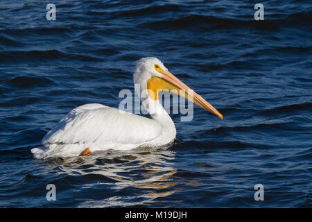 American white pelican on blue river background - Stock Photo