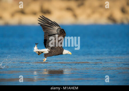 Adult Bald Eagle flying low with a just caught fish in its talons - Stock Photo