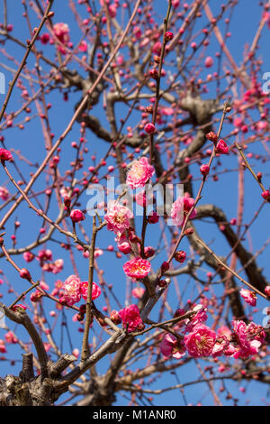 (27 January 2018 Osaka, Japan) Red Ume bloosoms (Prunus mume) flowering at a corner of Plum Garden in Osaka Castle - Stock Photo